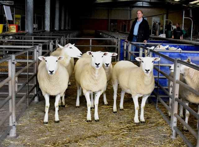 Derek Steen sold the top priced gimmers at £190 per head