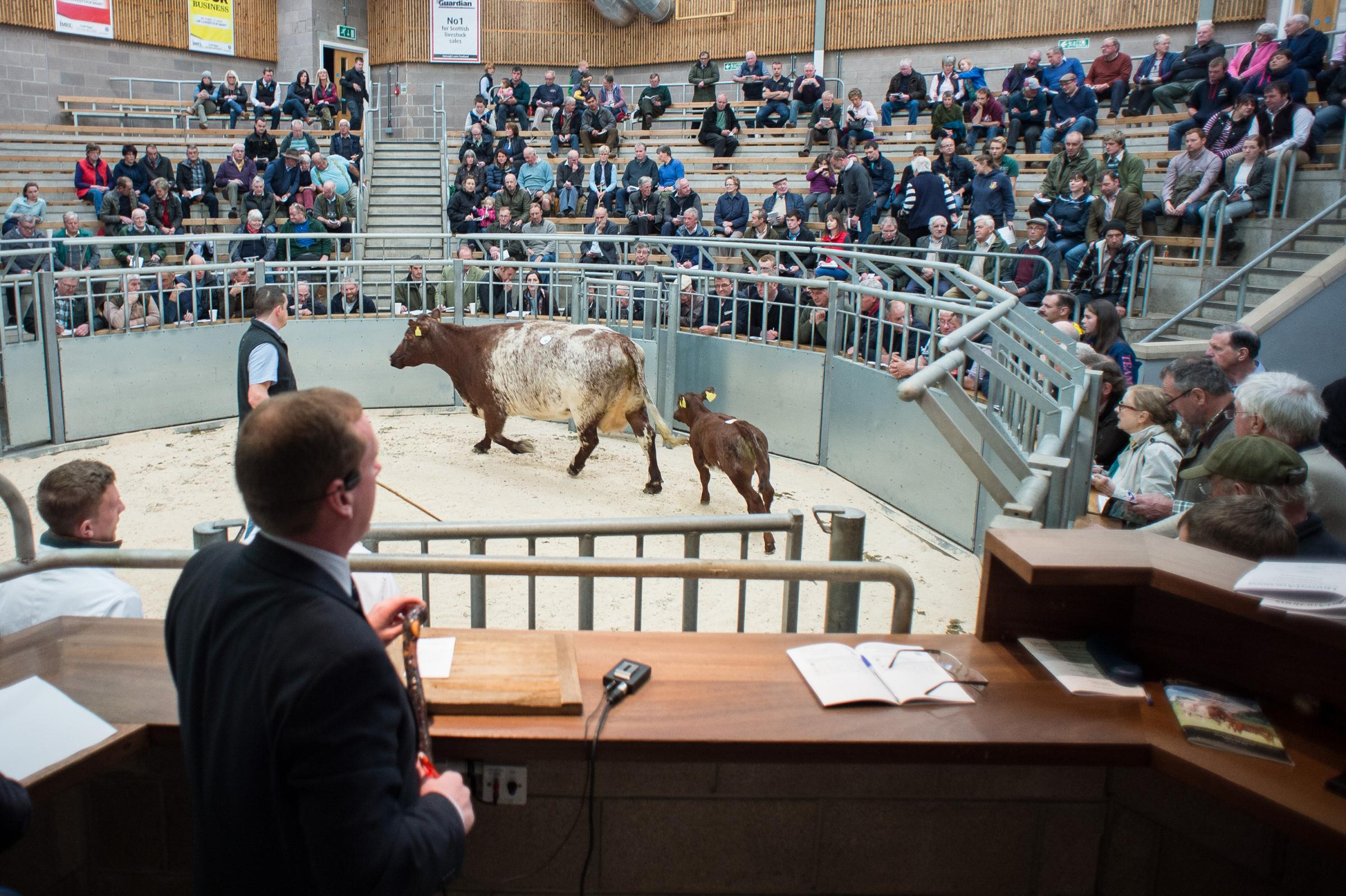 United Auctions, Auctioneer Raymond Kennedy selling the consignment of Highland Wagyu cattle at the dispersal sale.  Ref:RH150918046    Rob Haining / The Scottish Farmer.