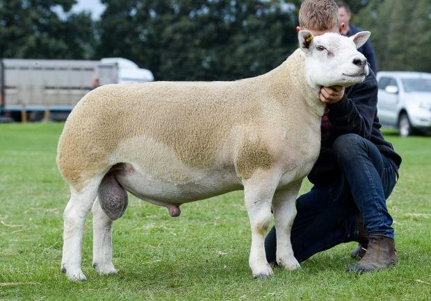 59d32392 Kelso Ram Sales: Awesome day for Garngour as Texel leads at £29,000 ...