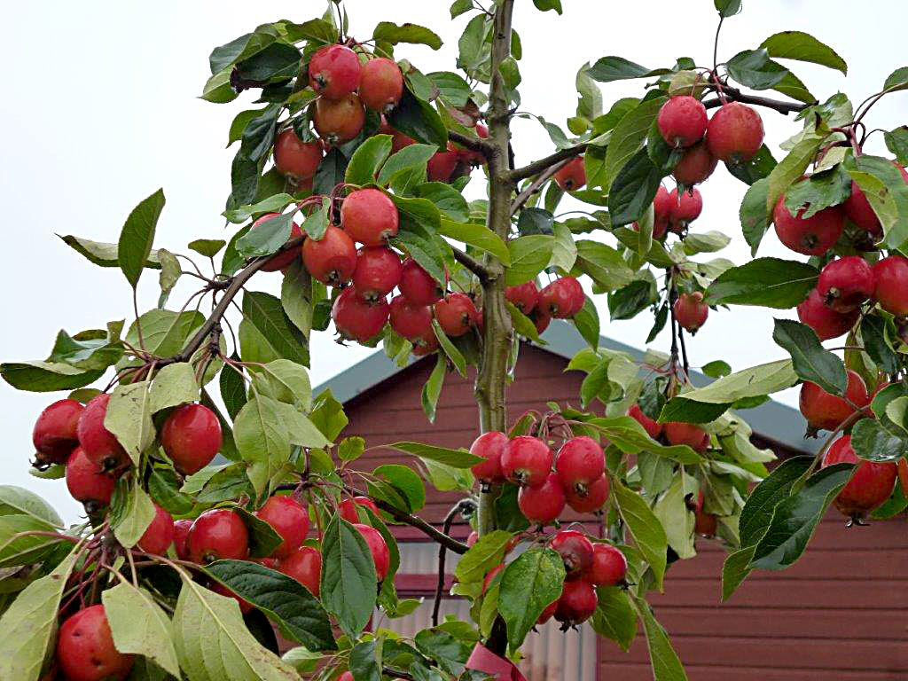Crab apple, John Downie, a versatile small tree