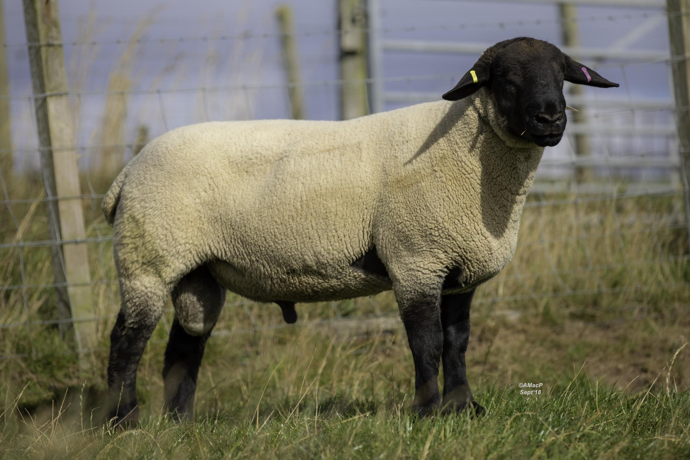 Top priced ram was this shearling at 4000gns