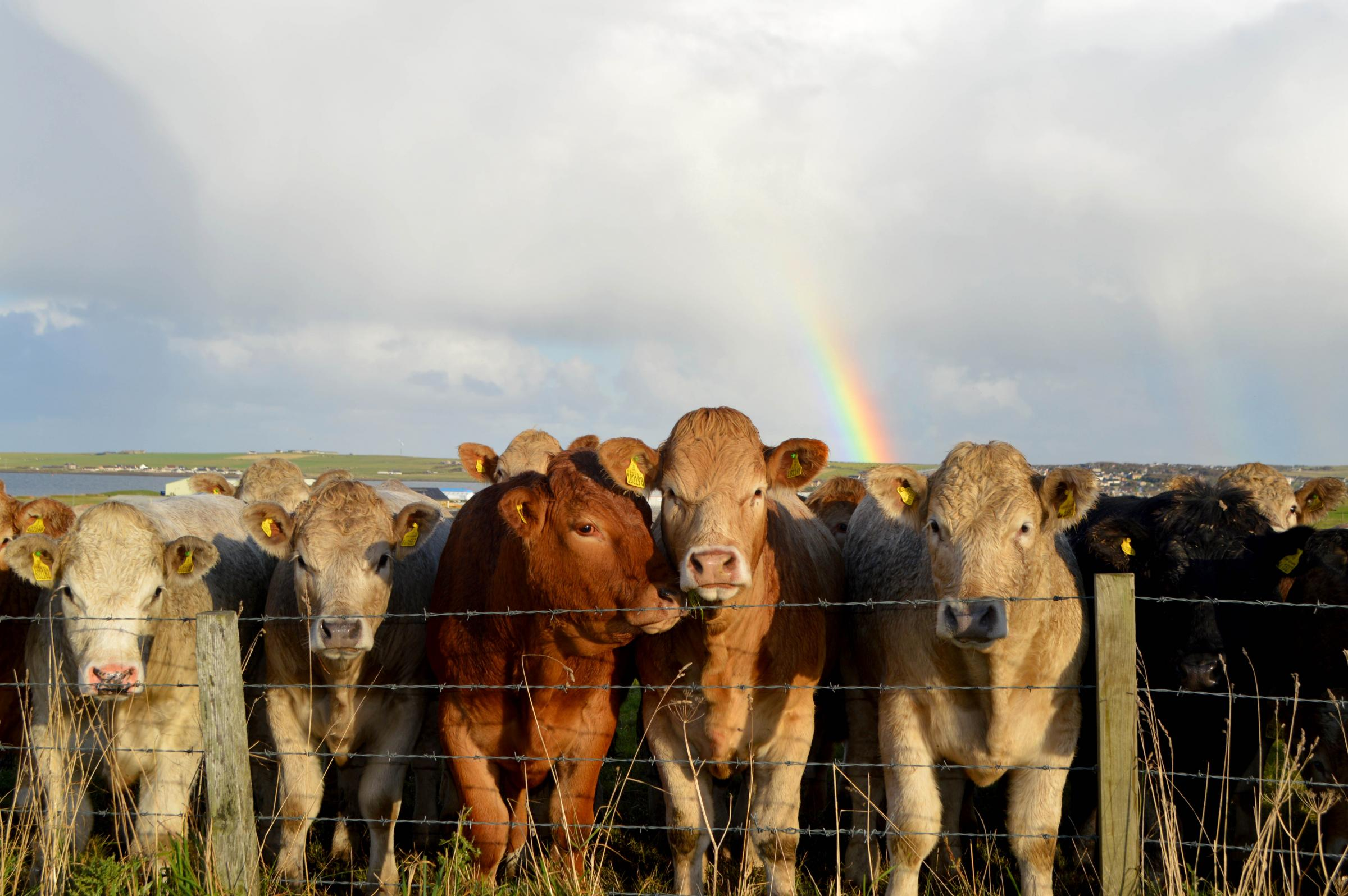Beef cattle enjoying the hospitality of the nearby Orkney Auction Mart gather under the rainbow to see what treasures can be found in the outskirts of Kirkwall