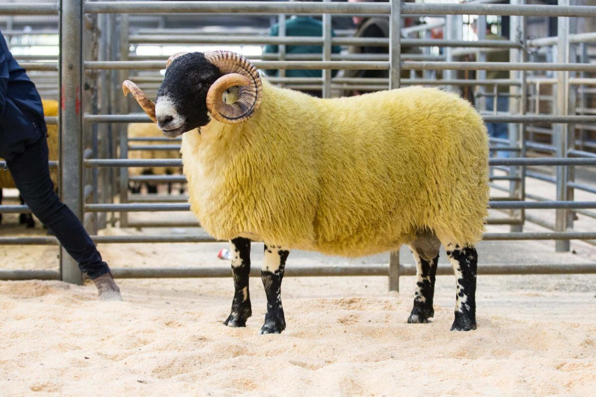 Shepherd S Croft Leads Hexham Blackie Sale At 12 000 The