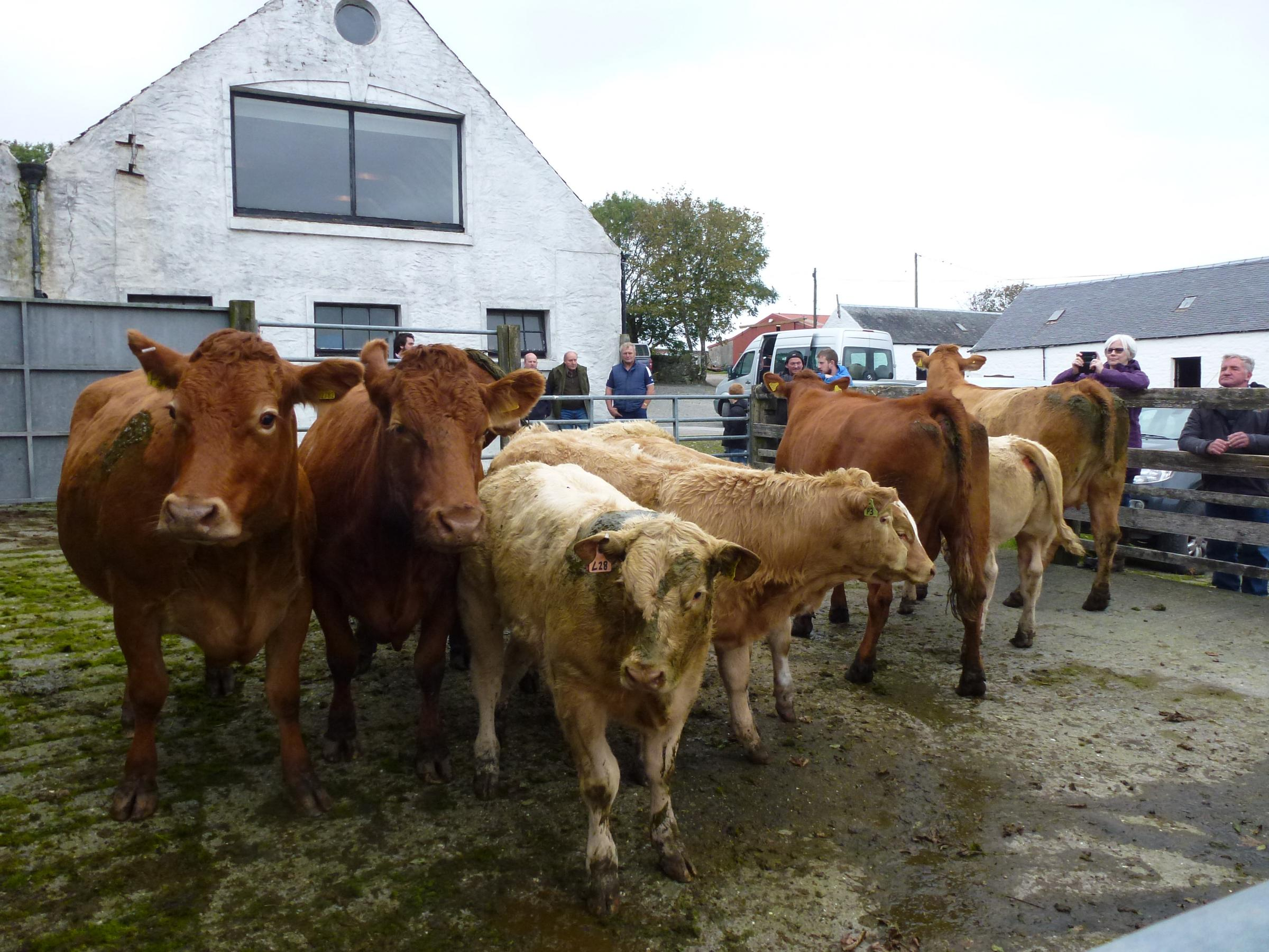 The winning team of cows and calves at Aoradh