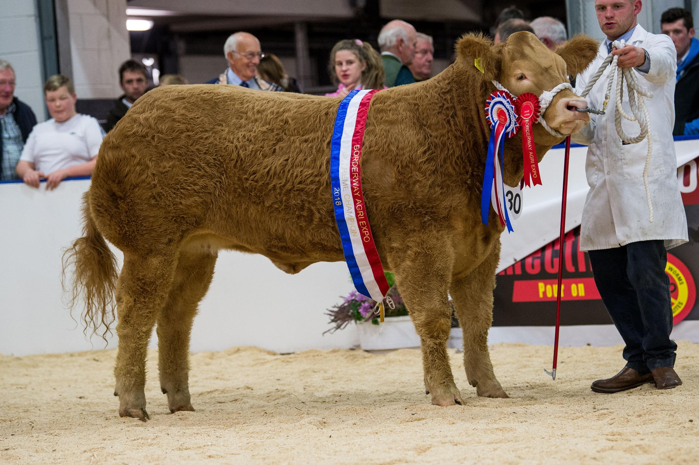 The overall commercial cattle champion and winning heifer was Strawberry Blonde, from Dermot Small                                               	                                Ref:RH021118104