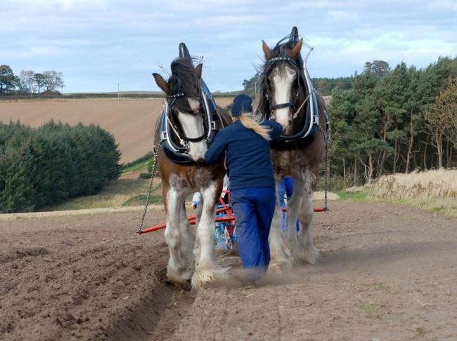 Isobel Duncan leads a pair of Clydesdale Heavy Horses with husband Benny behind with the plough