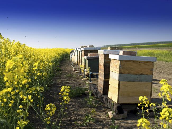 Bee hives next to a field of OSR