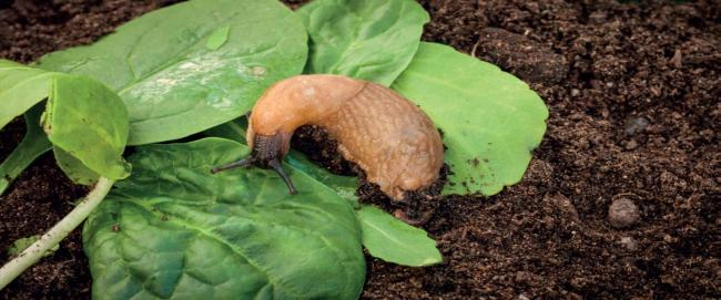 Our armoury against slugs is decreasing – but we can still fight these slimy crop eaters, if we are careful