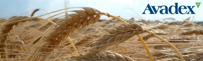 New spring wheat approval granted to Avadex