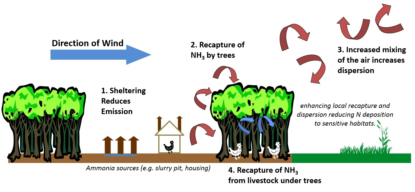 PROPERLY sited, trees can mop up ammonia emmissions from livestock