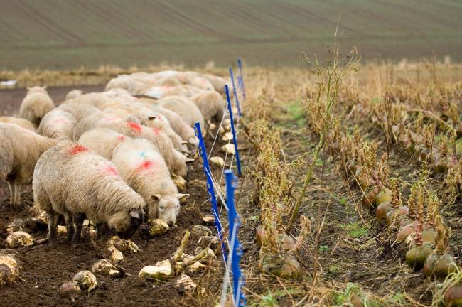 Prime lamb values have improved for the first week of the UK officially leaving the EU