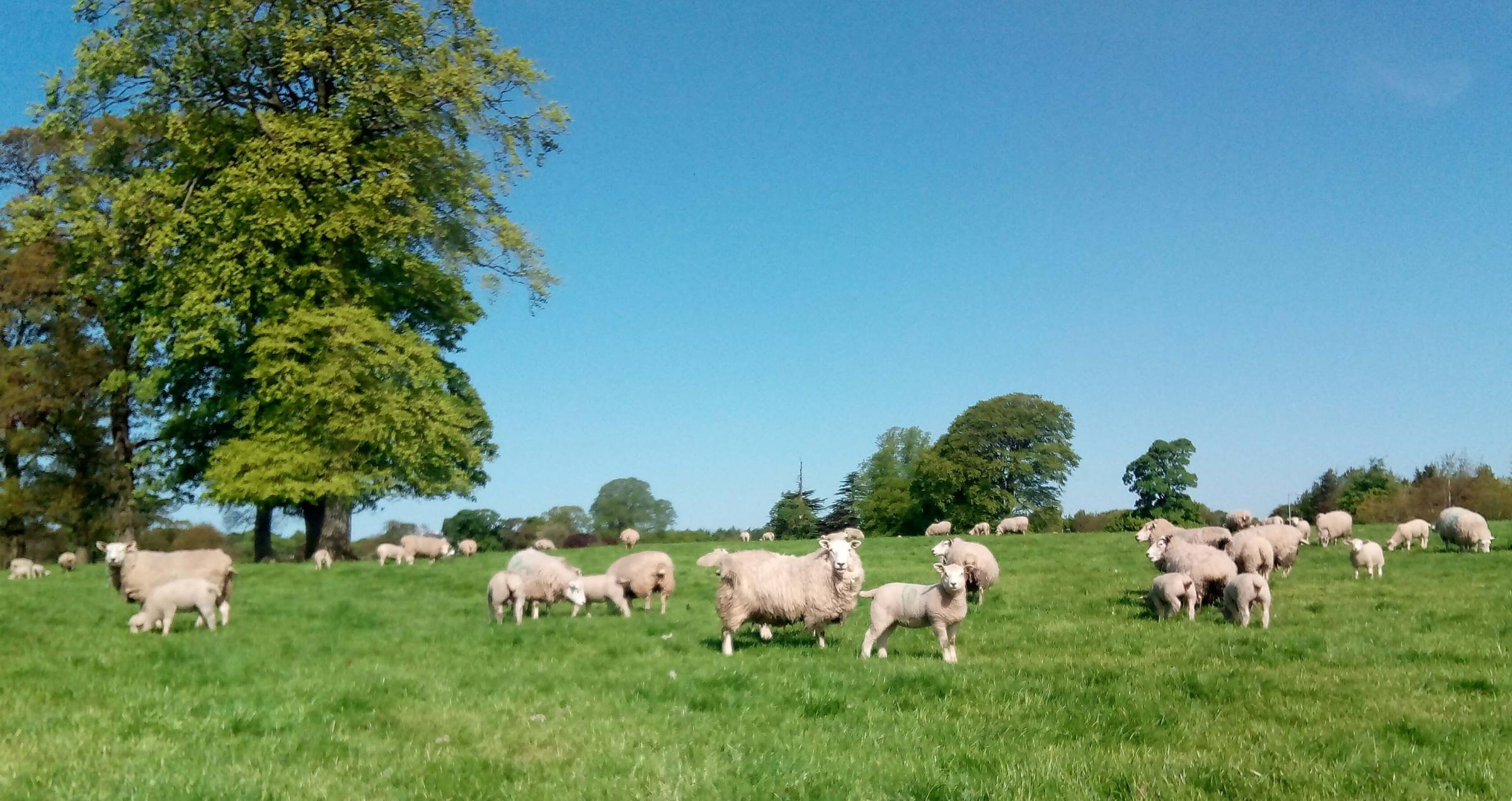 LAMB FINISHERS will have made business decisions this spring based on the expectation of the ageing rules changing...
