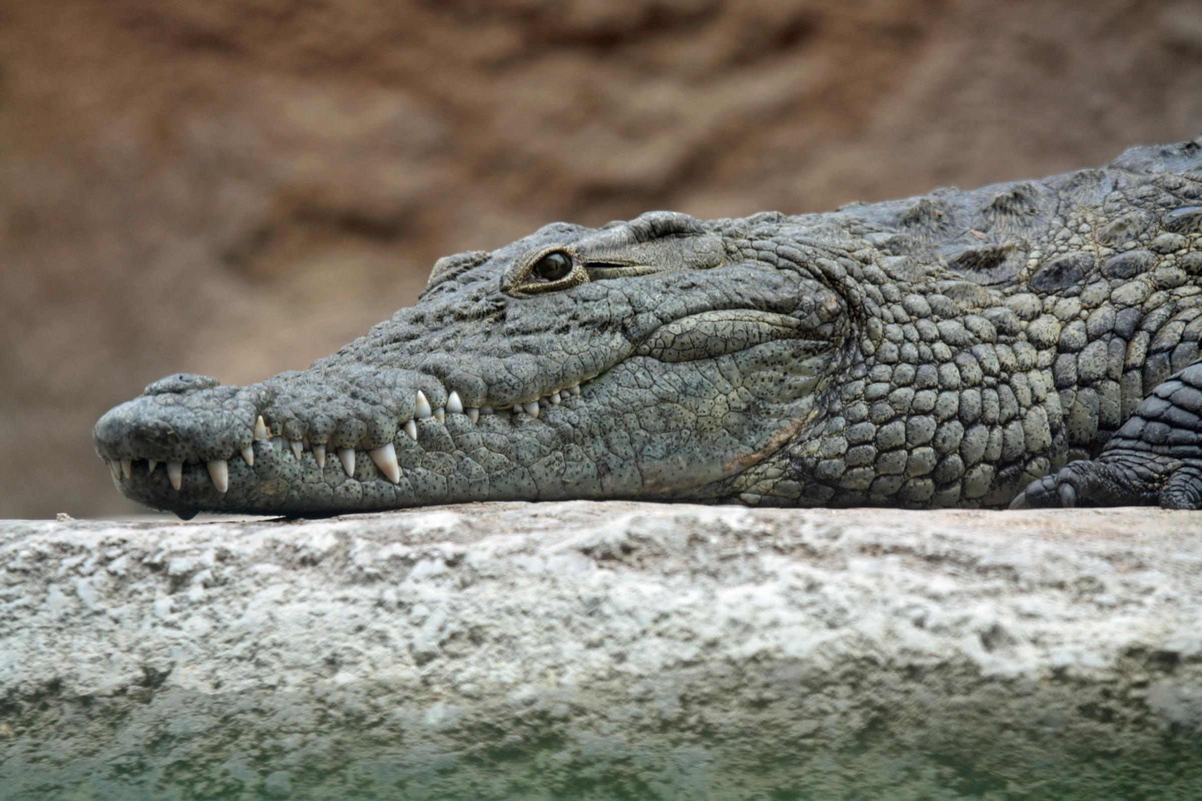Coming soon, crocodiles in the Clyde?