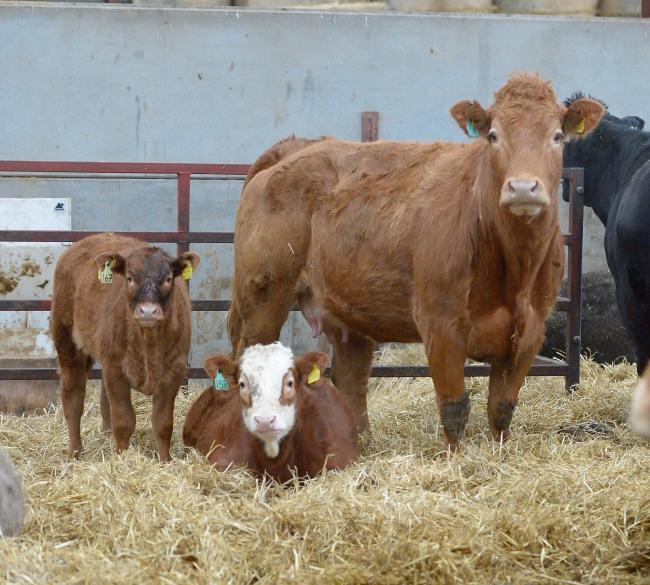 Breeding cattle have been selling well at sales up and down the country   Ref:RH300114012