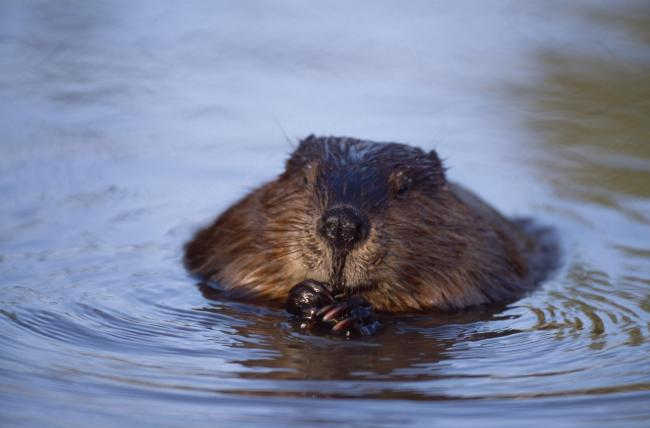 European beaver (Pic: Laurie Campbell)