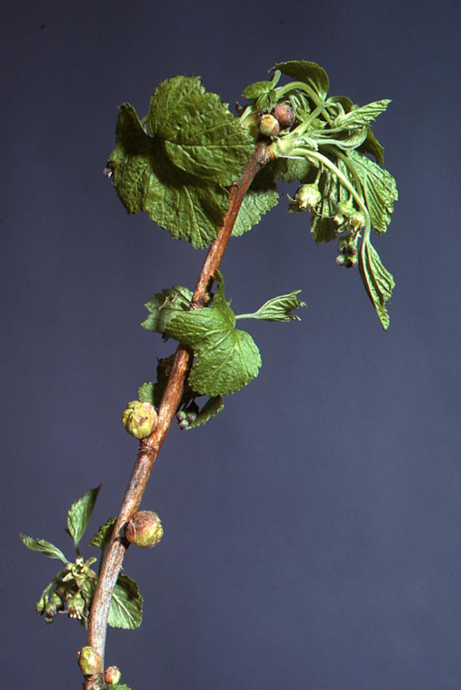 Galls emerging from blackcurrant buds in the spring can cause serious damage to fruiting
