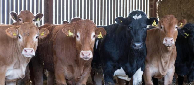 Longer keep store cattle have proved easier sold that short keep entries at store cattle entries up and down the country over the past week    Ref:RH080914005