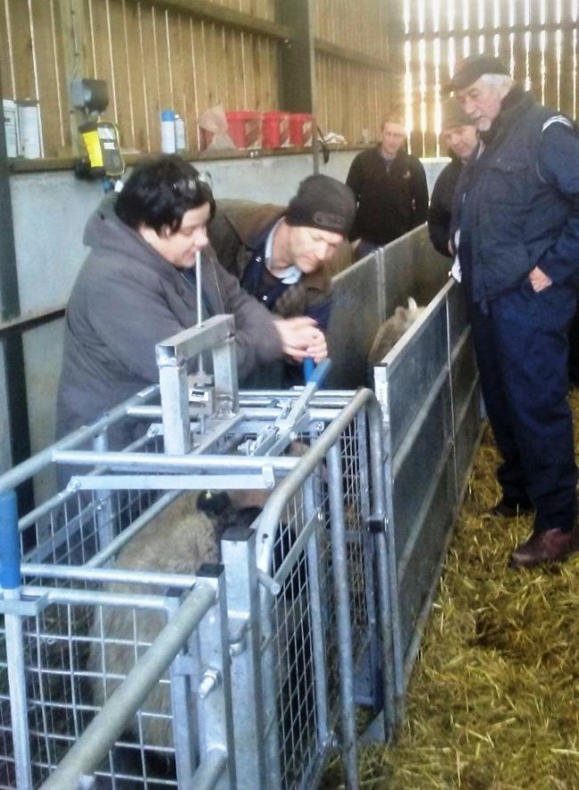 The trial team oversee the weighing of lambs during the feed trial