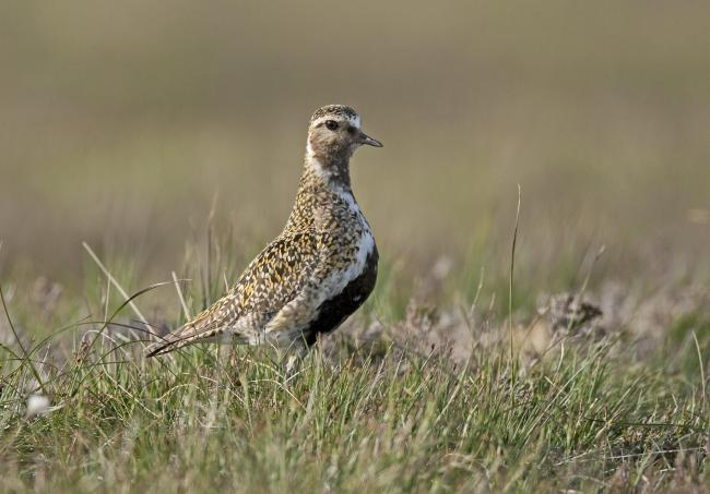 Golden Plover - among the ground-nesting farm and upland birds now facing an increasingly hostile environment (Pic: GWCT)