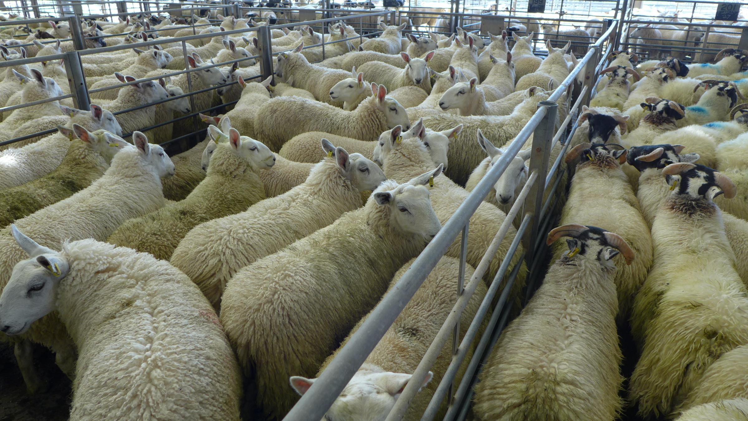 Prime sheep pictured at Caledonian Marts, Stirling