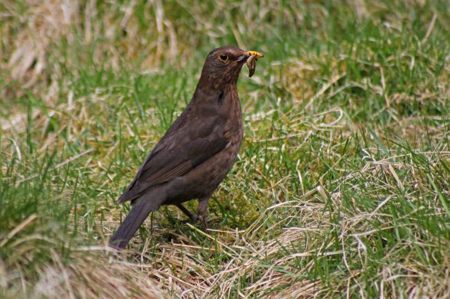 A Blackbird, the most commonly seen farmland bird species in Scotland this year, on the Trust's Scottish demonstration farm at Auchnerran, Aberdeenshire