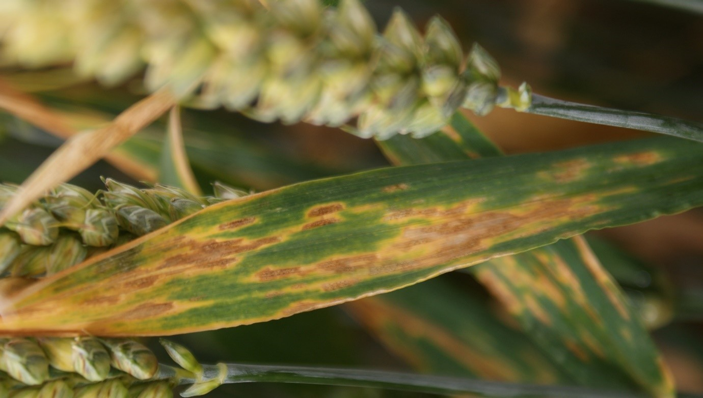 Letting septoria on to an unprotected flag leaf can cut yield by over 30%