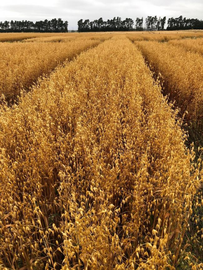 Pictured in New Zealand in March of this year - a crop of Southern Gold getting ready for the combine's knife