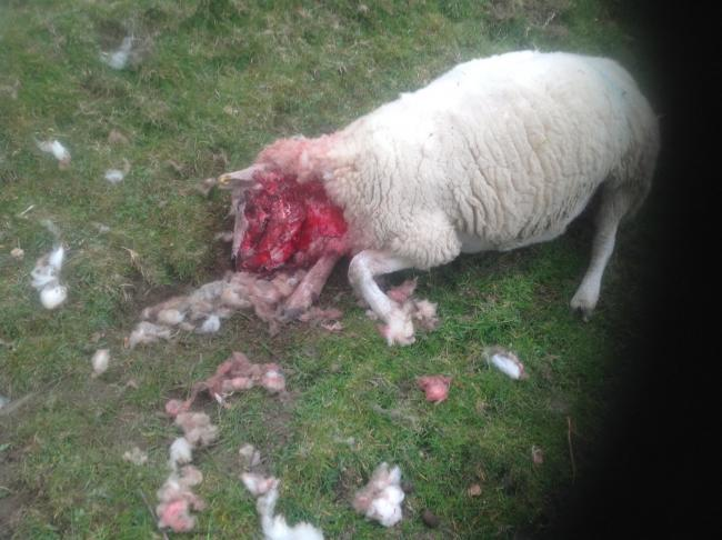 This gimmer had half her face and throat ripped off during a dog attack