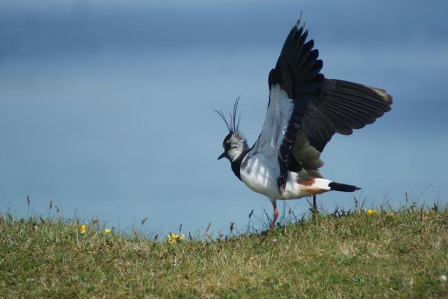 IN A flap - a lapwing (Pic: Patrick Laurie)